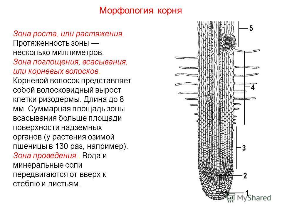 Зона роста, или растяжения. Протяженность зоны несколько миллиметров. Зона поглощения, всасывания, или корневых волосков. Корневой волосок представляет собой волосковидный вырост клетки ризодермы. Длина до 8 мм. Суммарная площадь зоны всасывания боль
