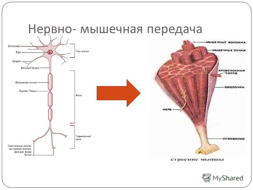 Нервно - мышечная передача