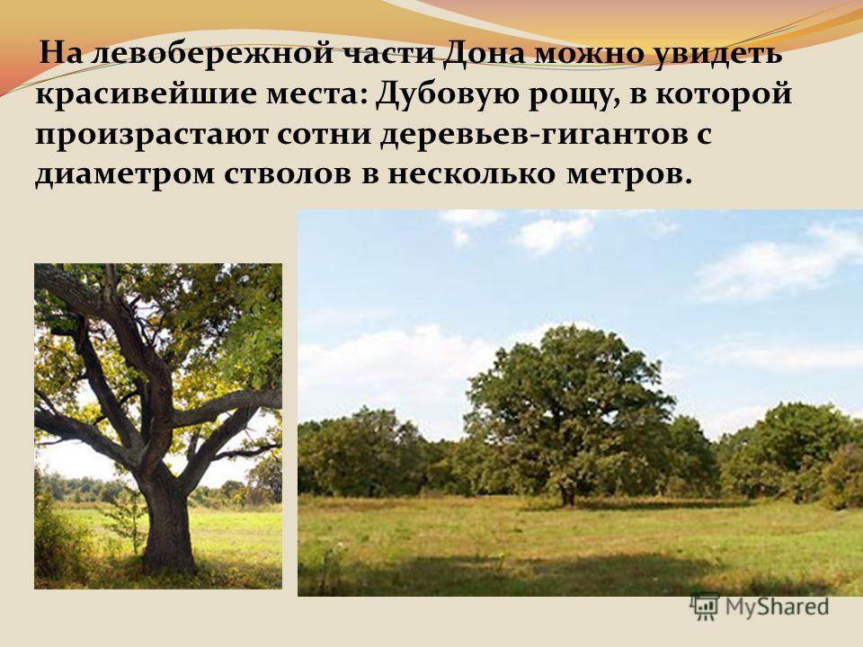 На левобережной части Дона можно увидеть красивейшие места: Дубовую рощу, в которой произрастают сотни деревьев-гигантов с диаметром стволов в несколько метров.