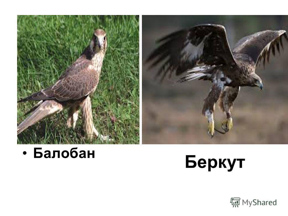 Беркут Балобан
