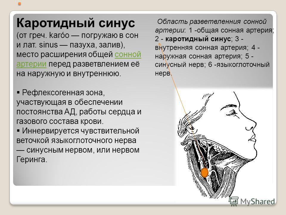 . Область разветвленния сонной артерии: 1 -общая сонная артерия; 2 - каротидный синус; 3 - внутренняя сонная артерия; 4 - наружная сонная артерия; 5 - синусный нерв; 6 -языкоглоточный нерв. Каротидный синус (от греч. karóo погружаю в сон и лат. sinus