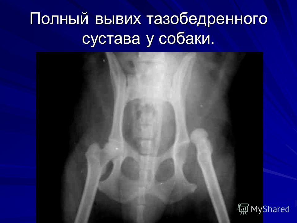 Полный вывих тазобедренного сустава у собаки.