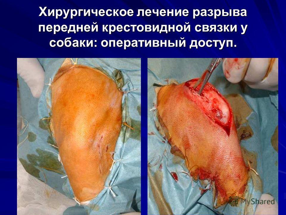 Хирургическое лечение разрыва передней крестовидной связки у собаки: оперативный доступ.