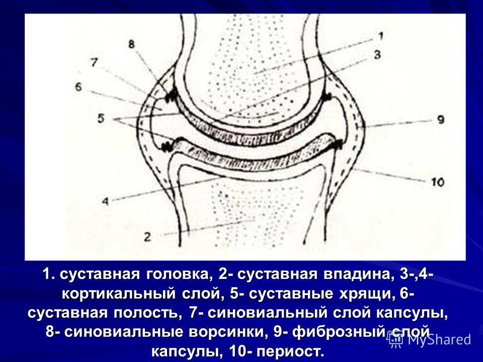 1. суставная головка, 2- суставная впадина, 3-,4- кортикальный слой, 5- суставные хрящи, 6- суставная полость, 7- синовиальный слой капсулы, 8- синовиальные ворсинки, 9- фиброзный слой капсулы, 10- периост.