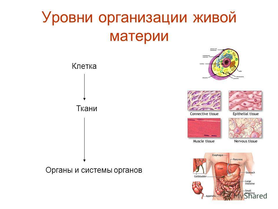 Уровни организации живой материи Клетка Ткани Органы и сиcтемы органов