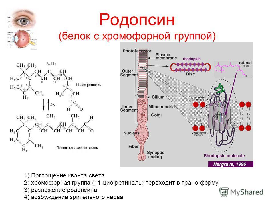 Родопсин (белок с хромофорной группой) 1) Поглощение кванта света 2) хромофорная группа (11-цис-ретиналь) переходит в транс-форму 3) разложение родопсина 4) возбуждение зрительного нерва