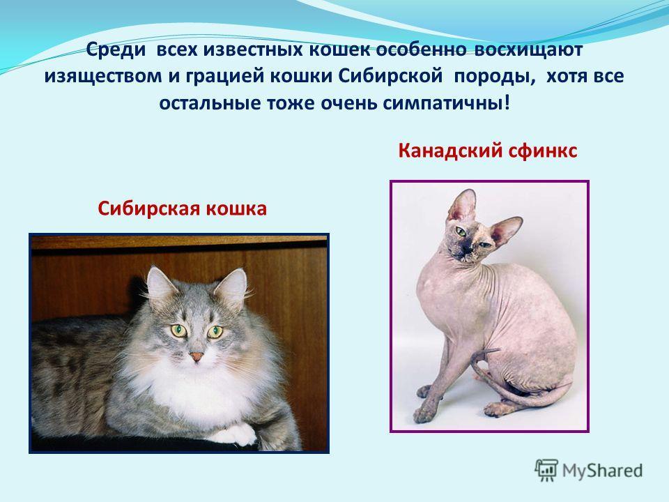 Среди всех известных кошек особенно восхищают изяществом и грацией кошки Сибирской породы, хотя все остальные тоже очень симпатичны! Сибирская кошка Канадский сфинкс