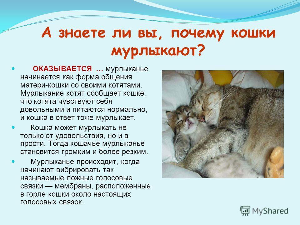 А знаете ли вы, почему кошки мурлыкают? ОКАЗЫВАЕТСЯ … мурлыканье начинается как форма общения матери-кошки со своими котятами. Мурлыкание котят сообщает кошке, что котята чувствуют себя довольными и питаются нормально, и кошка в ответ тоже мурлыкает.