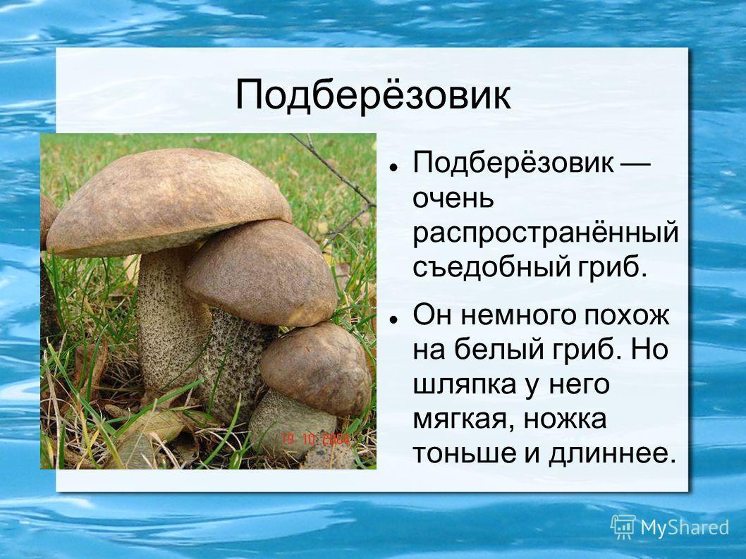 Подберёзовик Подберёзовик очень распространённый съедобный гриб. Он немного похож на белый гриб. Но шляпка у него мягкая, ножка тоньше и длиннее.
