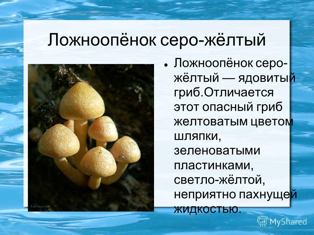 Ложноопёнок серо-жёлтый Ложноопёнок серо- жёлтый ядовитый гриб.Отличается этот опасный гриб желтоватым цветом шляпки, зеленоватыми пластинками, светло-жёлтой, неприятно пахнущей жидкостью.