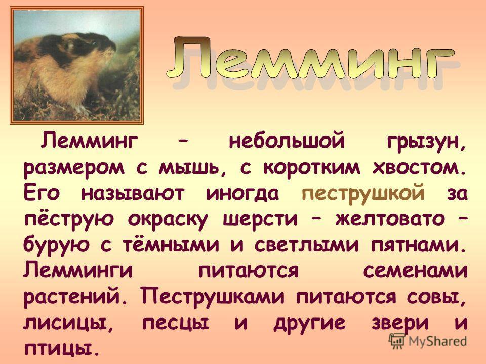 Лемминг – небольшой грызун, размером с мышь, с коротким хвостом. Его называют иногда пеструшкой за пёструю окраску шерсти – желтовато – бурую с тёмными и светлыми пятнами. Лемминги питаются семенами растений. Пеструшками питаются совы, лисицы, песцы