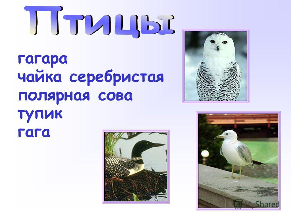 гагара чайка серебристая полярная сова тупик гага
