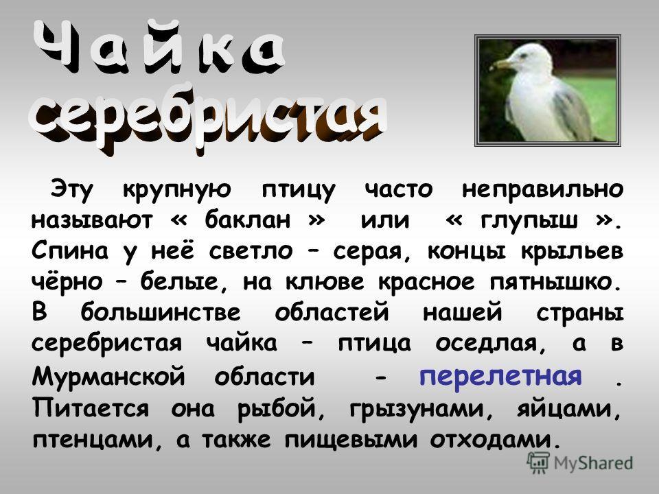 Эту крупную птицу часто неправильно называют « баклан » или « глупыш ». Спина у неё светло – серая, концы крыльев чёрно – белые, на клюве красное пятнышко. В большинстве областей нашей страны серебристая чайка – птица оседлая, а в Мурманской области