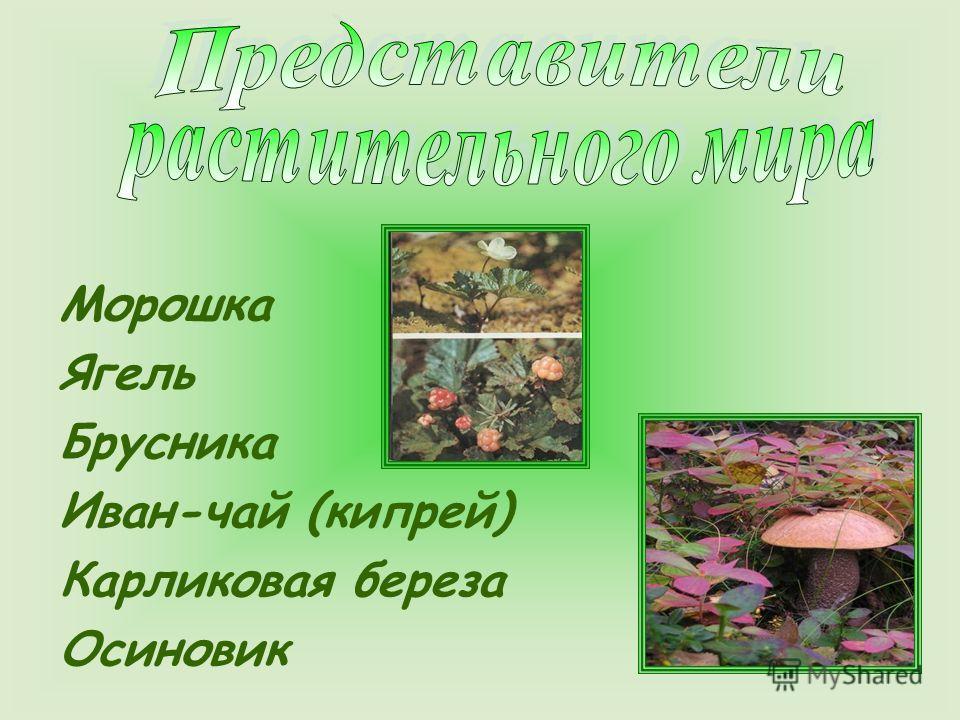 Морошка Ягель Брусника Иван-чай (кипрей) Карликовая береза Осиновик