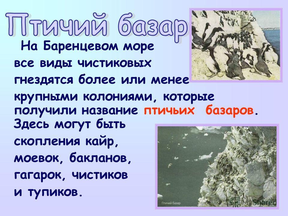 На Баренцевом море все виды чистиковых гнездятся более или менее крупными колониями, которые получили название птичьих базаров. Здесь могут быть скопления кайр, моевок, бакланов, гагарок, чистиков и тупиков.