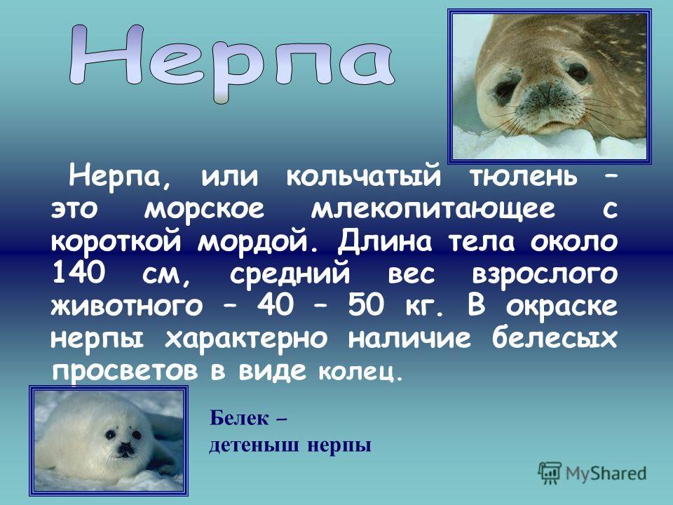 Нерпа, или кольчатый тюлень – это морское млекопитающее с короткой мордой. Длина тела около 140 см, средний вес взрослого животного – 40 – 50 кг. В окраске нерпы характерно наличие белесых просветов в виде колец. Белек – детеныш нерпы