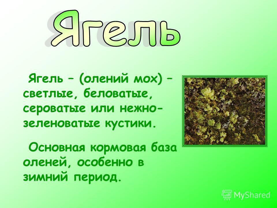 Ягель – (олений мох) – светлые, беловатые, сероватые или нежно- зеленоватые кустики. Основная кормовая база оленей, особенно в зимний период.