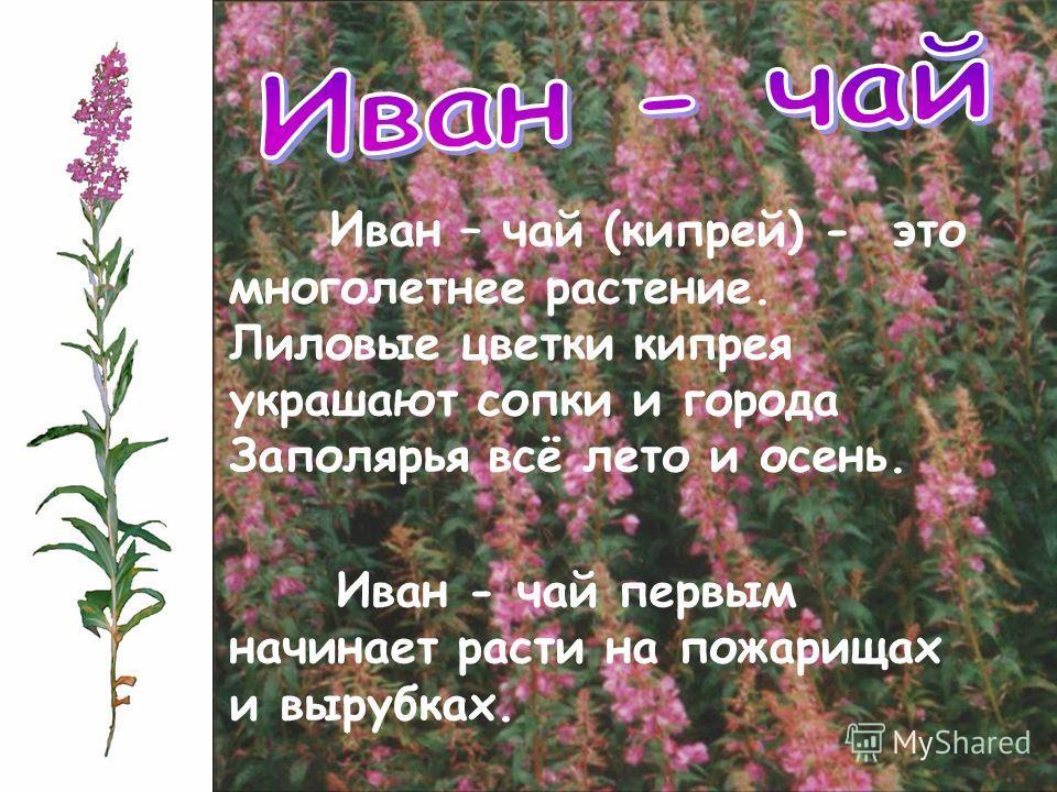 Иван – чай (кипрей) - это многолетнее растение. Лиловые цветки кипрея украшают сопки и города Заполярья всё лето и осень. Иван - чай первым начинает расти на пожарищах и вырубках.