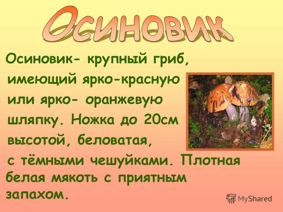 Осиновик- крупный гриб, имеющий ярко-красную или ярко- оранжевую шляпку. Ножка до 20см высотой, беловатая, с тёмными чешуйками. Плотная белая мякоть с приятным запахом.