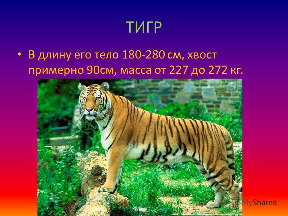 ТИГР В длину его тело 180-280 см, хвост примерно 90см, масса от 227 до 272 кг.