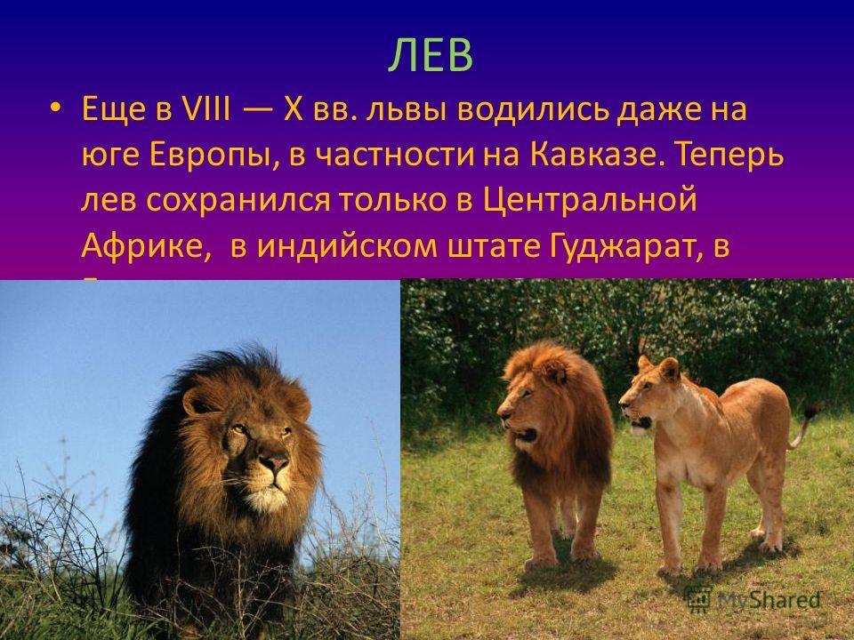 ЛЕВ Еще в VIII Х вв. львы водились даже на юге Европы, в частности на Кавказе. Теперь лев сохранился только в Центральной Африке, в индийском штате Гуджарат, в Гирских лесах.