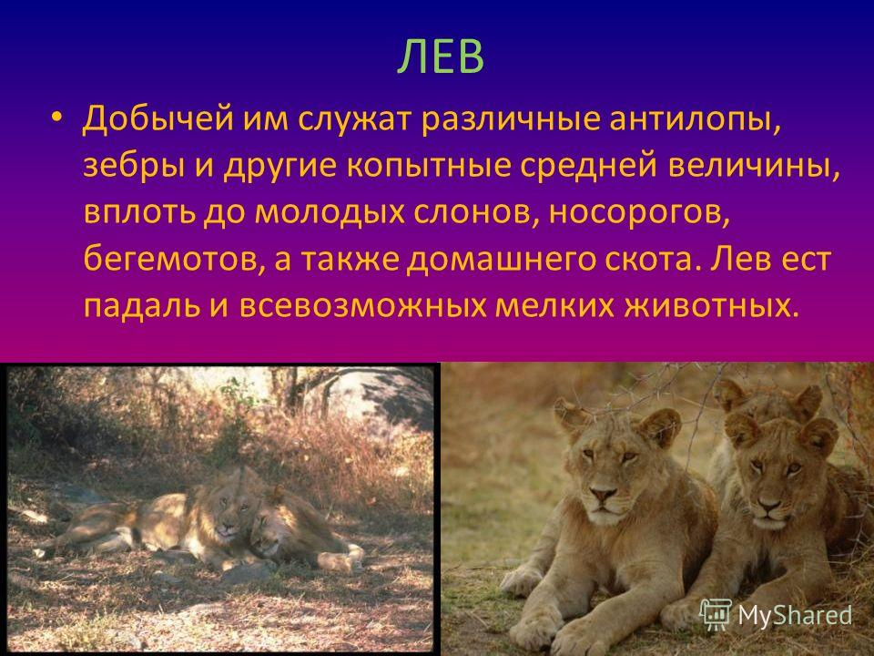 ЛЕВ Добычей им служат различные антилопы, зебры и другие копытные средней величины, вплоть до молодых слонов, носорогов, бегемотов, а также домашнего скота. Лев ест падаль и всевозможных мелких животных.