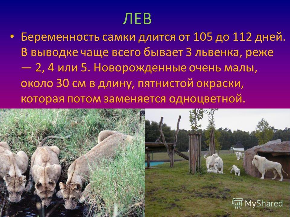 ЛЕВ Беременность самки длится от 105 до 112 дней. В выводке чаще всего бывает 3 львенка, реже 2, 4 или 5. Новорожденные очень малы, около 30 см в длину, пятнистой окраски, которая потом заменяется одноцветной.