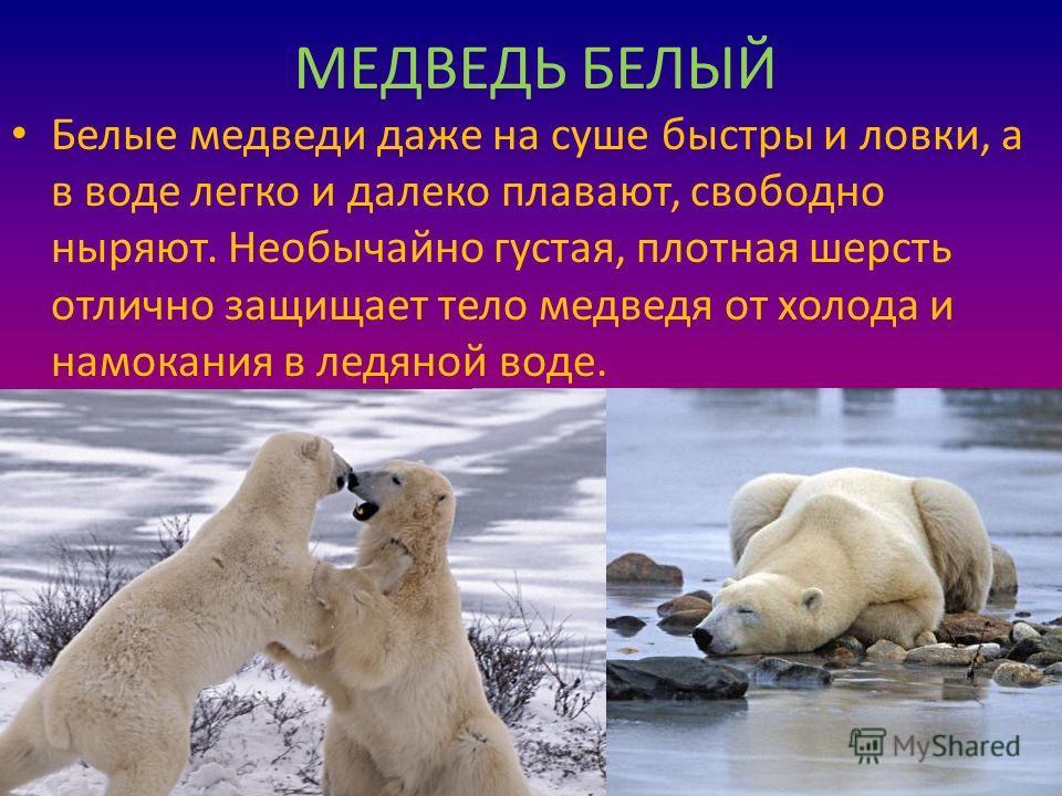 МЕДВЕДЬ БЕЛЫЙ Белые медведи даже на суше быстры и ловки, а в воде легко и далеко плавают, свободно ныряют. Необычайно густая, плотная шерсть отлично защищает тело медведя от холода и намокания в ледяной воде.
