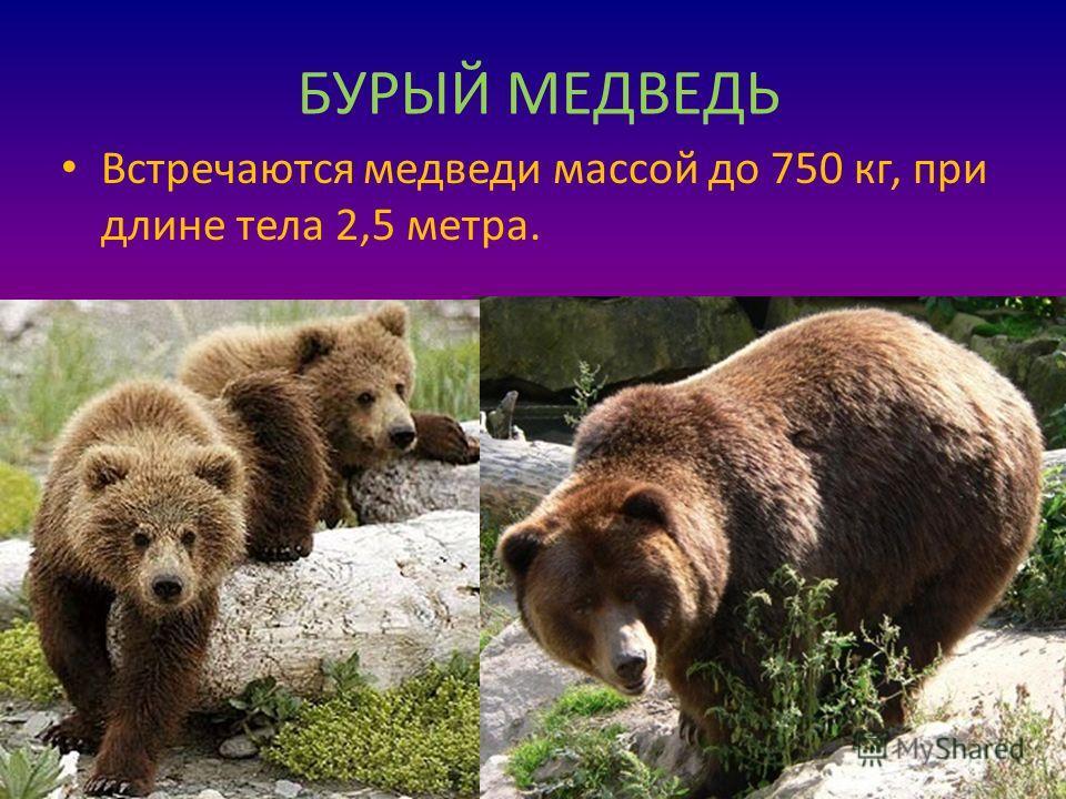 БУРЫЙ МЕДВЕДЬ Встречаются медведи массой до 750 кг, при длине тела 2,5 метра.