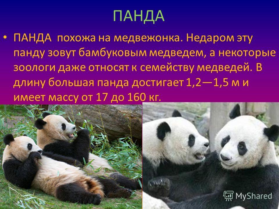 ПАНДА ПАНДА похожа на медвежонка. Недаром эту панду зовут бамбуковым медведем, а некоторые зоологи даже относят к семейству медведей. В длину большая панда достигает 1,21,5 м и имеет массу от 17 до 160 кг.