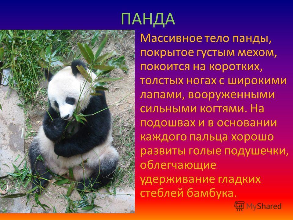 ПАНДА Массивное тело панды, покрытое густым мехом, покоится на коротких, толстых ногах с широкими лапами, вооруженными сильными когтями. На подошвах и в основании каждого пальца хорошо развиты голые подушечки, облегчающие удерживание гладких стеблей