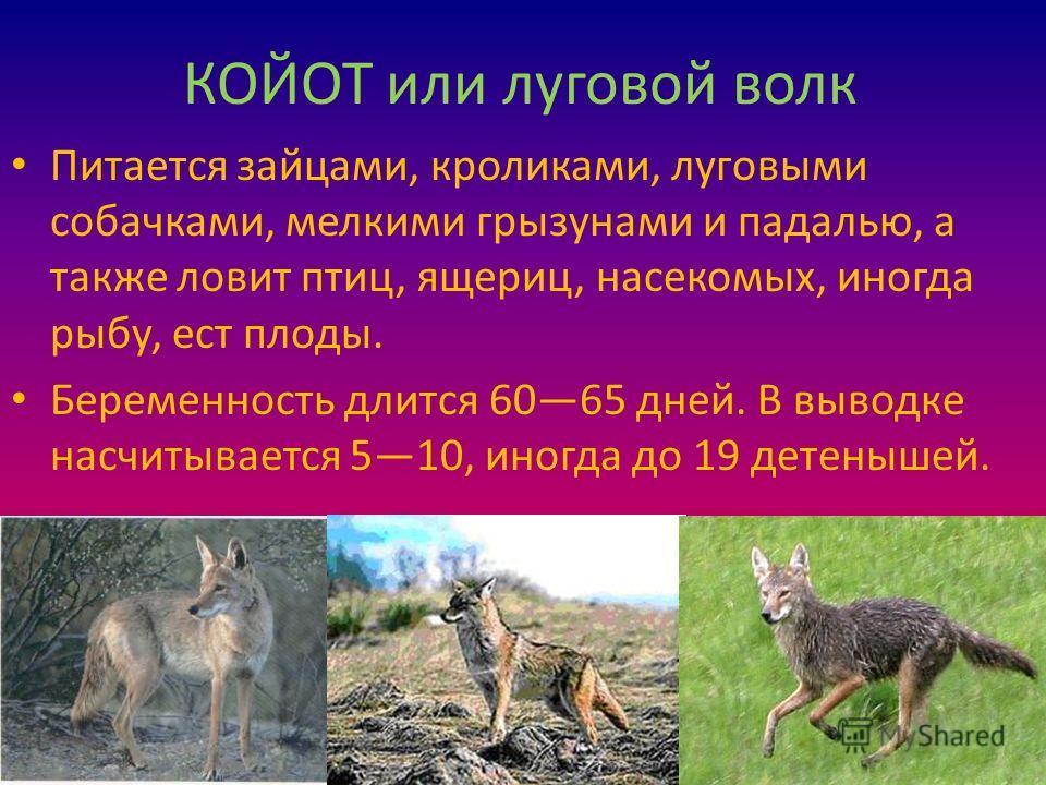 КОЙОТ или луговой волк Питается зайцами, кроликами, луговыми собачками, мелкими грызунами и падалью, а также ловит птиц, ящериц, насекомых, иногда рыбу, ест плоды. Беременность длится 6065 дней. В выводке насчитывается 510, иногда до 19 детенышей.