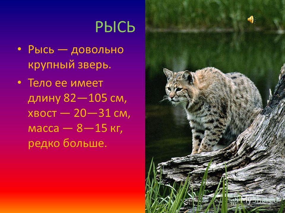 РЫСЬ Рысь довольно крупный зверь. Тело ее имеет длину 82105 см, хвост 2031 см, масса 815 кг, редко больше.