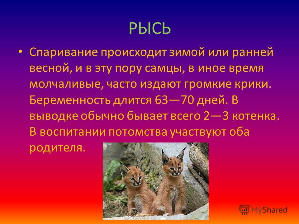 РЫСЬ Спаривание происходит зимой или ранней весной, и в эту пору самцы, в иное время молчаливые, часто издают громкие крики. Беременность длится 6370 дней. В выводке обычно бывает всего 23 котенка. В воспитании потомства участвуют оба родителя.