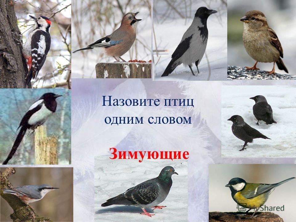 Назовите птиц одним словом Зимующие