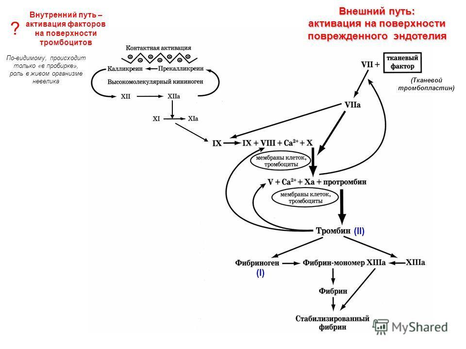 (Тканевой тромбопластин) (II) (I) Внутренний путь – активация факторов на поверхности тромбоцитов Внешний путь: активация на поверхности поврежденного эндотелия ? По-видимому, происходит только «в пробирке», роль в живом организме невелика
