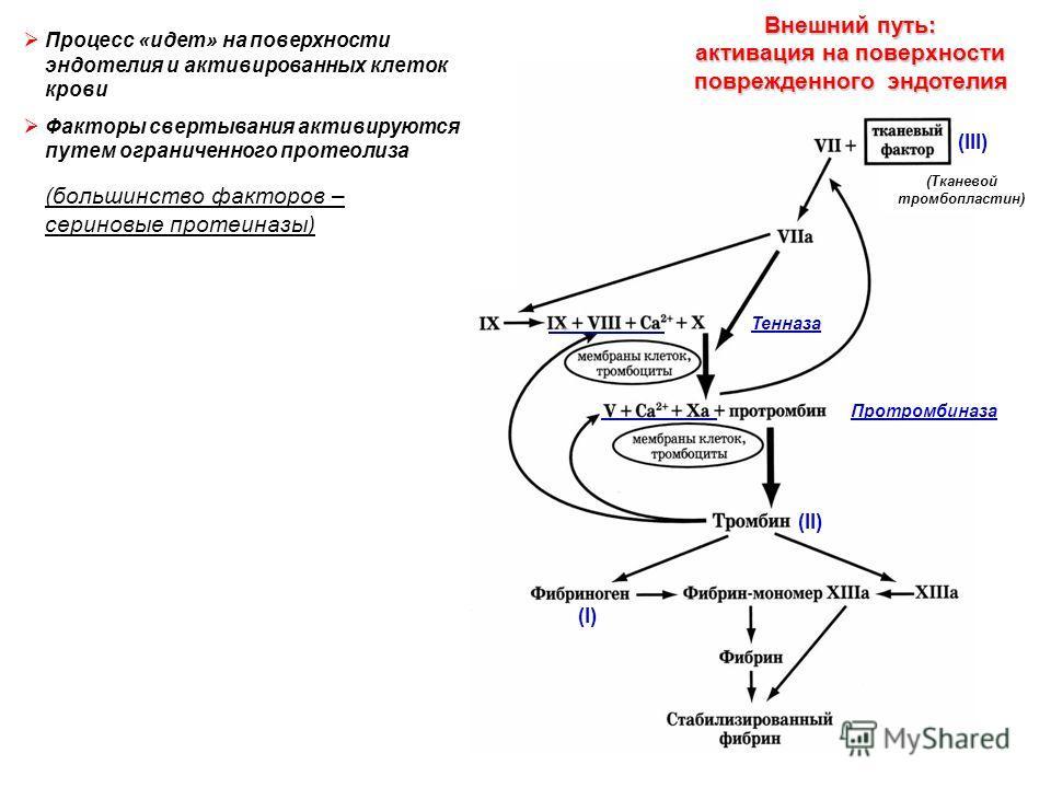 Тенназа Протромбиназа (II) (I) Внешний путь: активация на поверхности поврежденного эндотелия (Тканевой тромбопластин) Процесс «идет» на поверхности эндотелия и активированных клеток крови Факторы свертывания активируются путем ограниченного протеоли