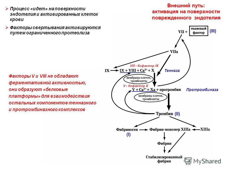Тенназа Протромбиназа (II) (I) Внешний путь: активация на поверхности поврежденного эндотелия ? По-видимому, происходит только «в пробирке», роль в живом организме невелика VIII - Кофактор IX V - Кофактор X Факторы V и VIII не обладают ферментативной