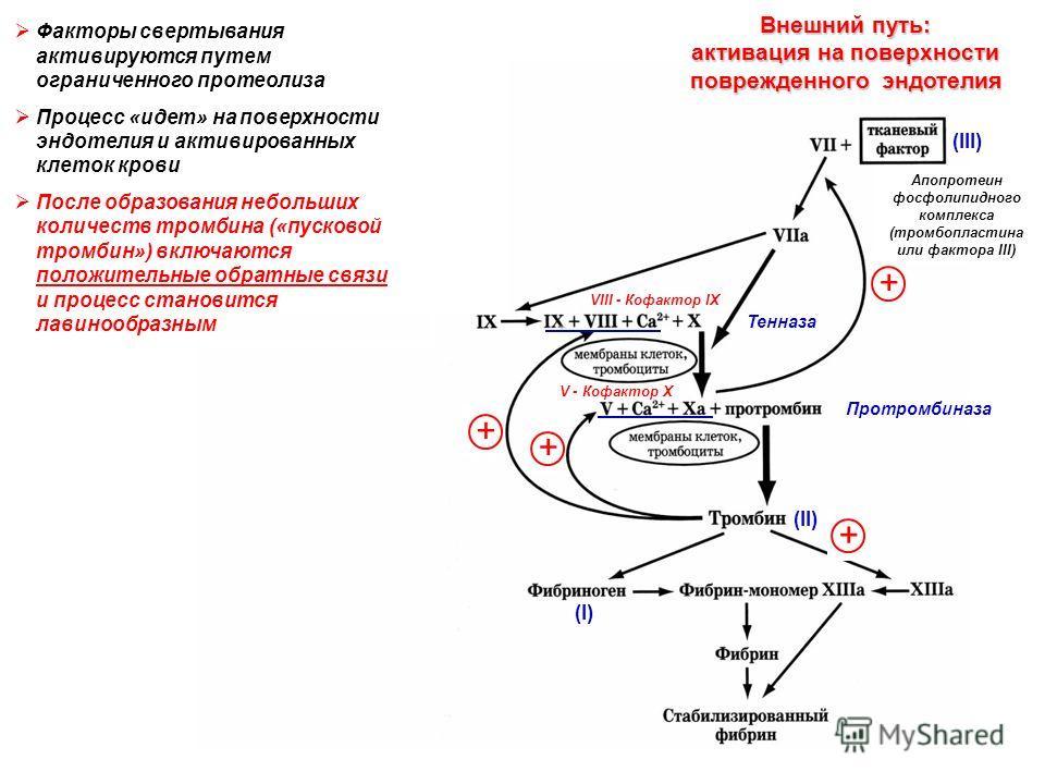 Апопротеин фосфолипидного комплекса (тромбопластина или фактора III) Тенназа Протромбиназа (II) (I) Внешний путь: активация на поверхности поврежденного эндотелия + + + VIII - Кофактор IX V - Кофактор X + Факторы свертывания активируются путем ограни