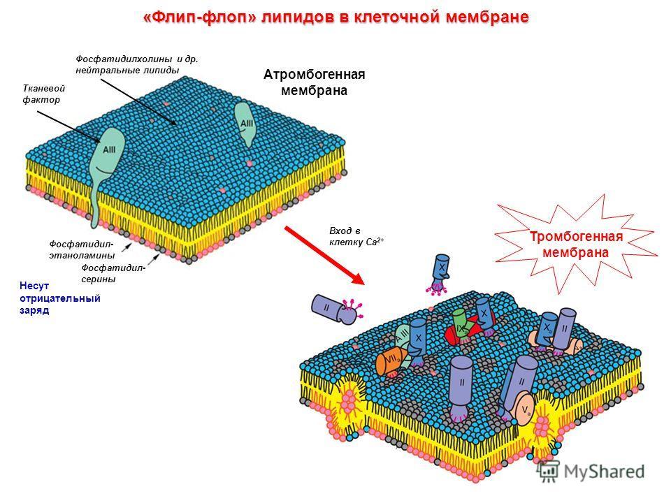 «Флип-флоп» липидов в клеточной мембране Вход в клетку Са 2+ Атромбогенная мембрана Фосфатидил- серины Фосфатидил- этаноламины Тканевой фактор Фосфатидилхолины и др. нейтральные липиды Несут отрицательный заряд Тромбогенная мембрана