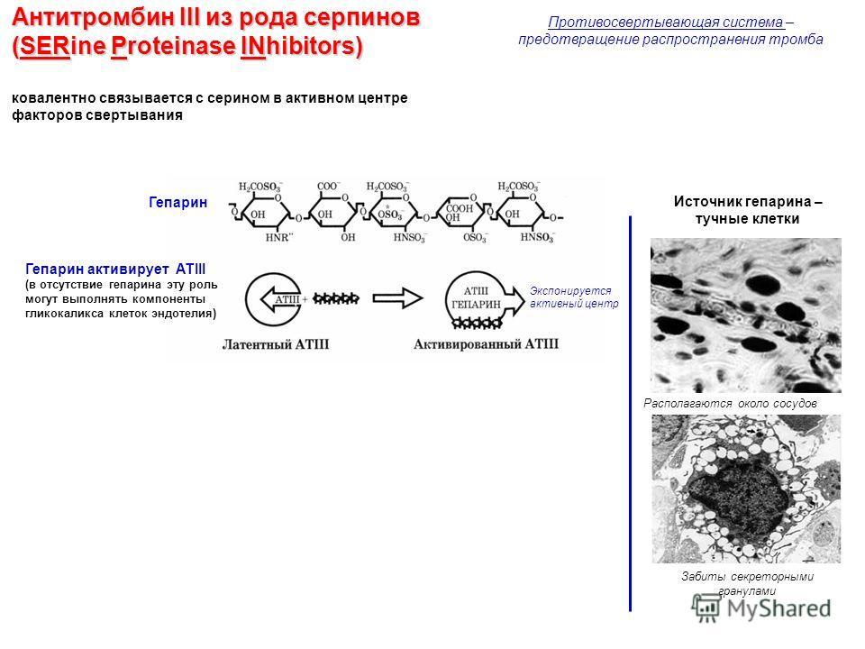 Антитромбин III из рода серпинов (SERine Proteinase INhibitors) ковалентно связывается с серином в активном центре факторов свертывания Гепарин Источник гепарина – тучные клетки Располагаются около сосудов Забиты секреторными гранулами Экспонируется