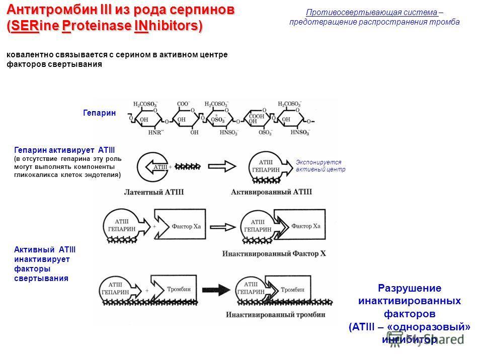 Антитромбин III из рода серпинов (SERine Proteinase INhibitors) ковалентно связывается с серином в активном центре факторов свертывания Гепарин Гепарин активирует АТIII (в отсутствие гепарина эту роль могут выполнять компоненты гликокаликса клеток эн