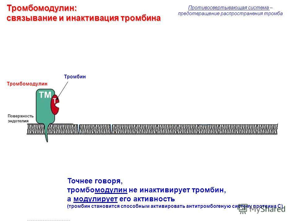 Тромбомодулин: связывание и инактивация тромбина Противосвертывающая система – предотвращение распространения тромба Тромбомодулин Тромбин Поверхность эндотелия Точнее говоря, тромбомодулин не инактивирует тромбин, а модулирует его активность (тромби