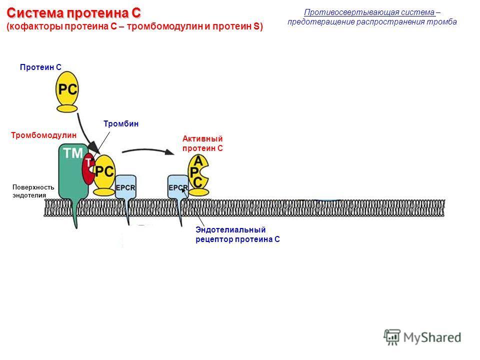 Система протеина С Система протеина С (кофакторы протеина С – тромбомодулин и протеин S) Тромбомодулин Протеин С Тромбин Эндотелиальный рецептор протеина С Поверхность эндотелия Активный протеин С Противосвертывающая система – предотвращение распрост