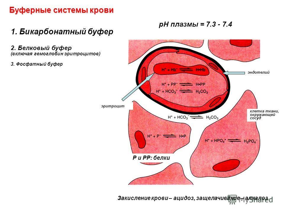 1. Бикарбонатный буфер 2. Белковый буфер (включая гемоглобин эритроцитов) 3. Фосфатный буфер эритроцит эндотелий клетка ткани, окружающей сосуд Закисление крови – ацидоз, защелачивание – алкалоз Буферные системы крови рН плазмы = 7.3 - 7.4 Р и РР: бе