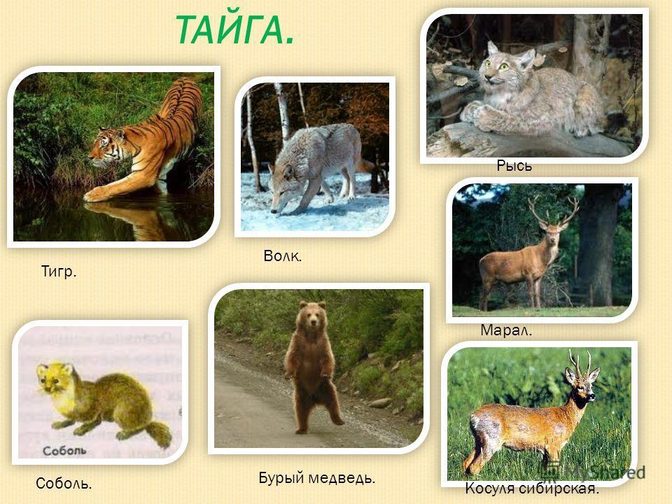 ТАЙГА. Тигр. Волк. Рысь Бурый медведь. Марал. Косуля сибирская. Соболь.