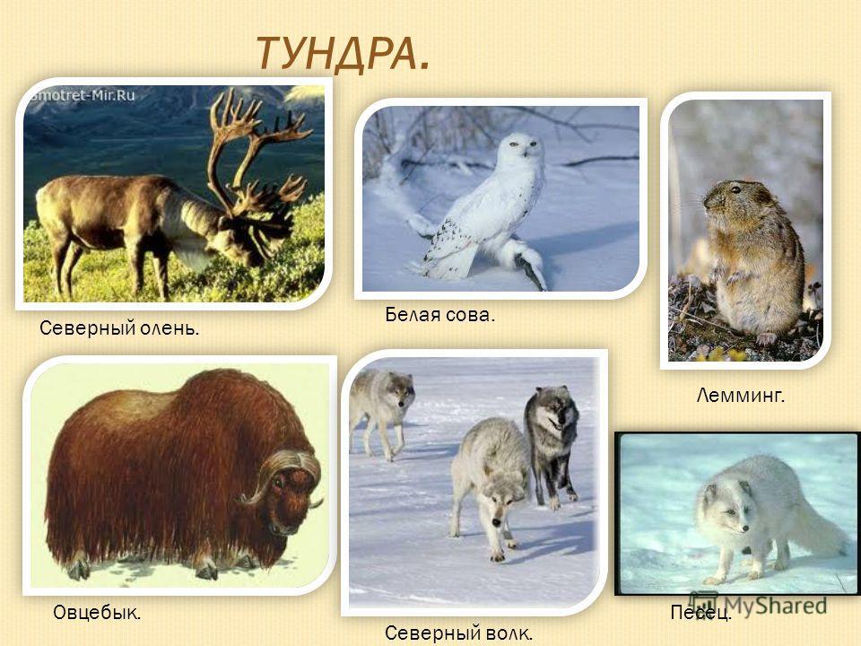 ТУНДРА. Северный олень. Овцебык. Белая сова. Северный волк. Лемминг. Песец.