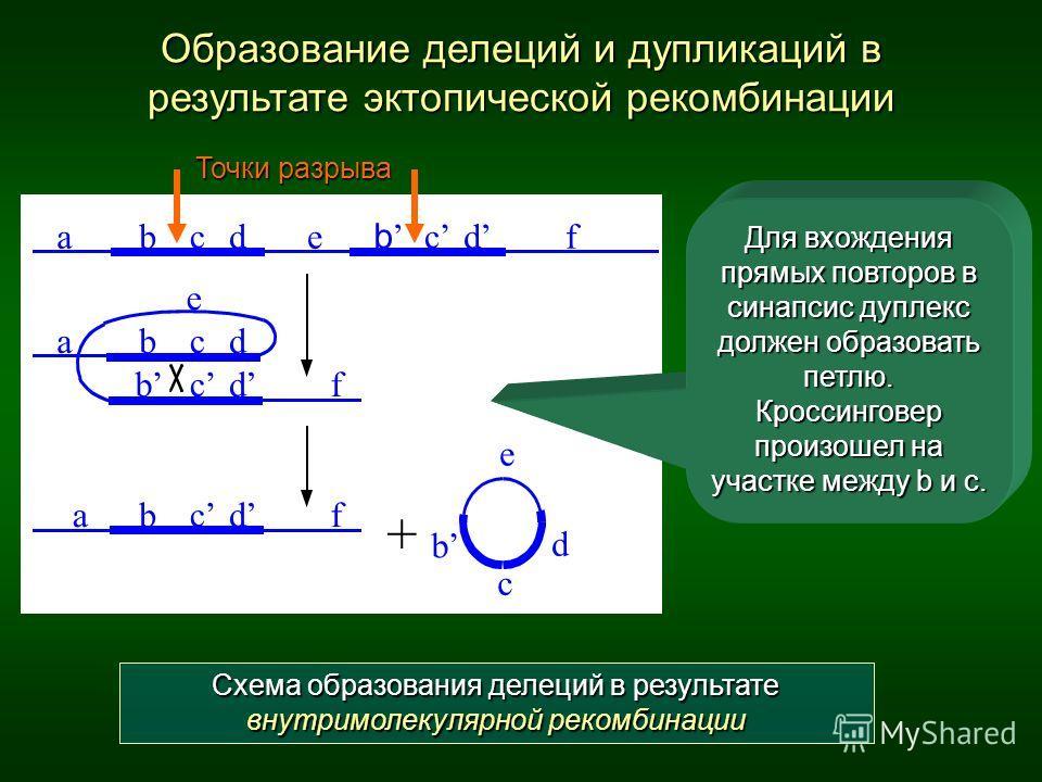 Образование делеций и дупликаций в результате эктопической рекомбинации abcde b c d f abcd e b c d f ab c d e b c d f + Для вхождения прямых повторов в синапсис дуплекс должен образовать петлю. Кроссинговер произошел на участке между b и с. Схема обр