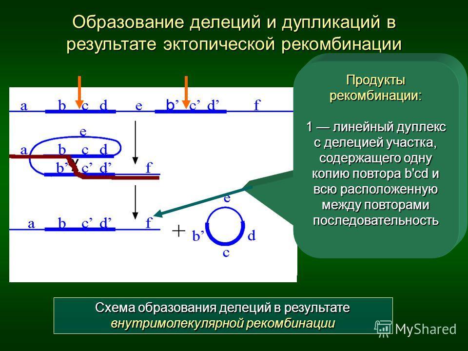 Образование делеций и дупликаций в результате эктопической рекомбинации abcde b c d f abcd e b c d f ab c d e b c d f + Схема образования делеций в результате внутримолекулярной рекомбинации Продукты рекомбинации: 1 линейный дуплекс с делецией участк