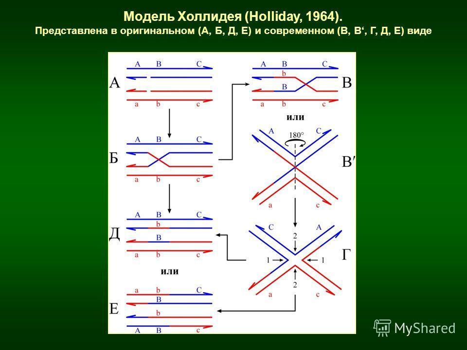 Модель Холлидея (Holliday, 1964). Представлена в оригинальном (А, Б, Д, Е) и современном (В, В, Г, Д, Е) виде